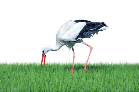 White stork on green grass isolated on white background Stock Photo
