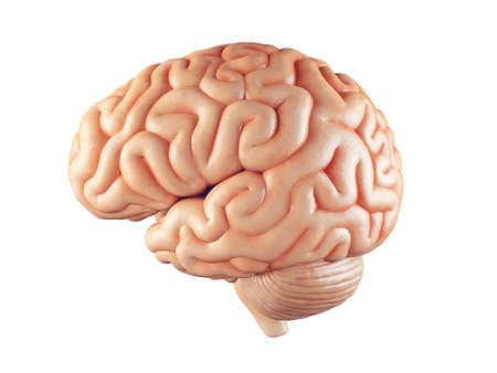 Realistic 3d Illustration of human brain front view isolated on white