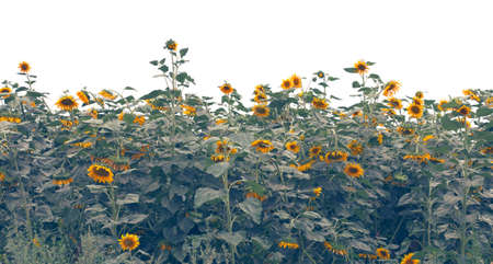 Sunflowers field over white, toned photo Stock Photo