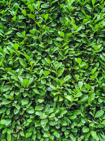 Green fresh leafs wall background texture, mobile photo