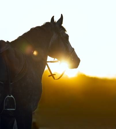 thoroughbred: Silhouette of a horse in sunset beams