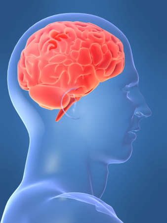 cerebellum: human brain