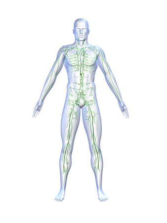 lymphatic system Stock Photo - 660437