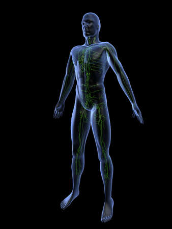 lymphatic system Stock Photo - 660439