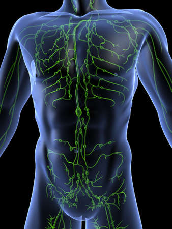 lymphatic system Stock Photo - 660440