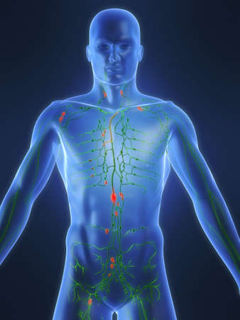 lymphatic system Stock Photo - 660454