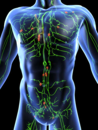 lymphatic system Stock Photo - 660455