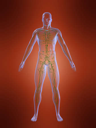 lymphatic system Stock Photo - 705165