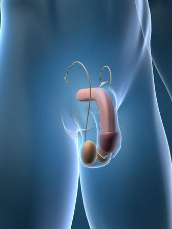 aparato reproductor: urinaria  Foto de archivo