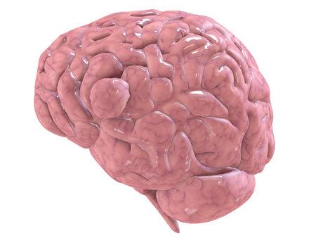 cerebra: human brain