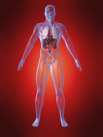 human upper organs Stock Photo