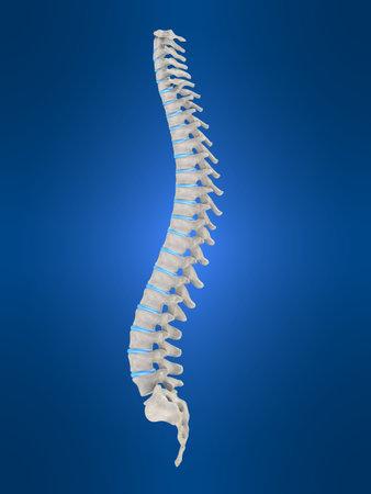 columna vertebral humana: Humanos de la columna vertebral  Foto de archivo