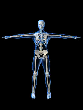 human skeleton Stock Photo - 1066745