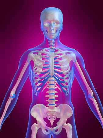 human skeleton Stock Photo - 1066757