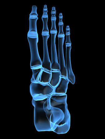 cartilage: human foot