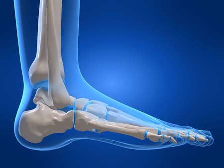 bones of the foot: skeletal foot Stock Photo