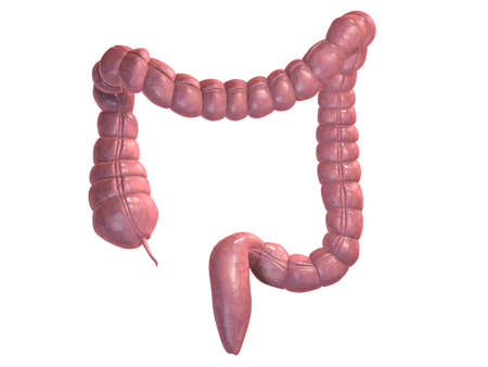 intestino: dos puntos humanos Foto de archivo