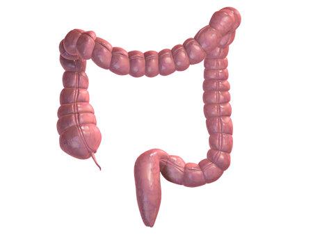colon: human colon