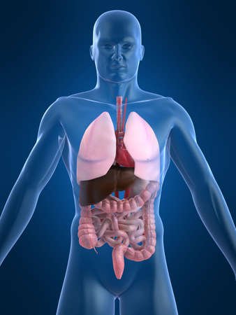 human organs Stock Photo - 1066513