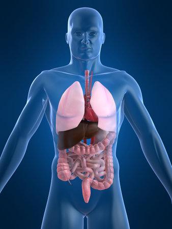 organos internos: �rganos humanos Foto de archivo