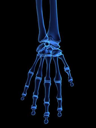 phalanx: skeletal hand
