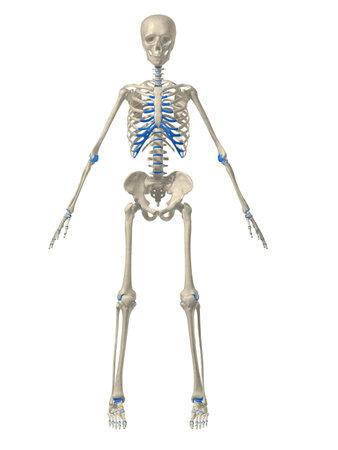 human skeleton: human skeleton illustration