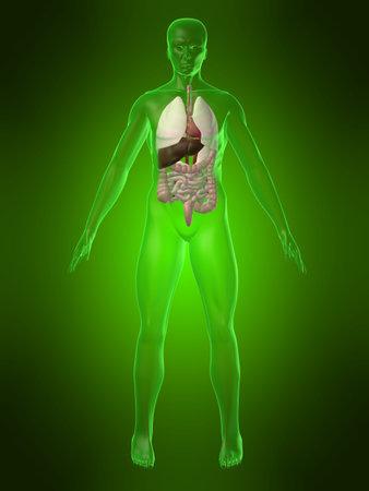 human organs Stock Photo - 1066957