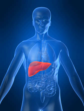 highlighted liver Stock Photo - 1066960