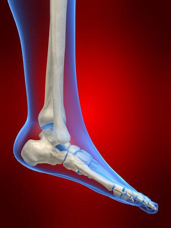 ankle: skeletal foot Stock Photo