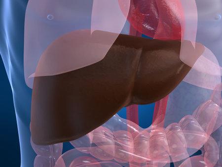 bowel: human liver