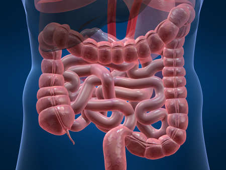 intestin: c�lon humain