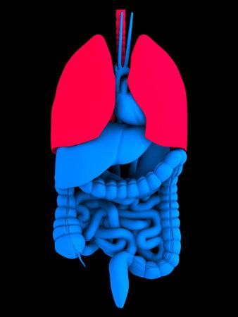 human organs Stock Photo - 1567830