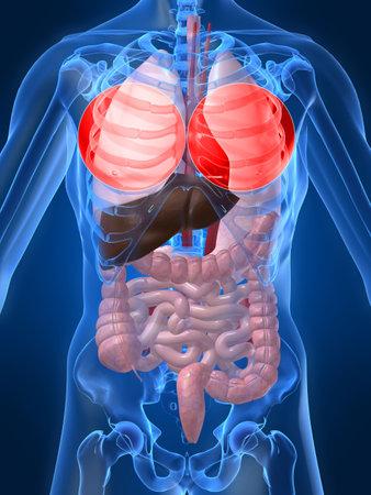 organos internos: destac� pulm�n  Foto de archivo