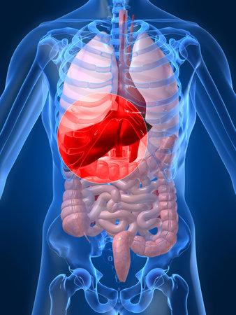 organi interni: evidenziato fegato