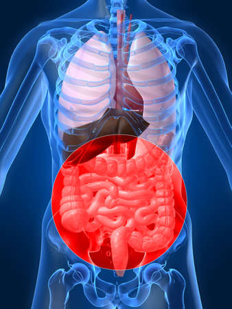 intestines: highlighted intestines Stock Photo