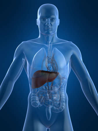 human liver Stock Photo - 2020991