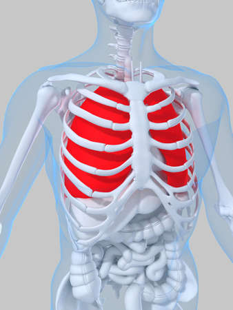 highlighted lung Stock Photo - 2021067