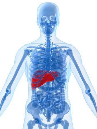 dolor de pecho: Anatom�a humana con el h�gado  Foto de archivo