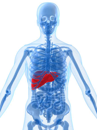 human anatomy with liver Stock Photo - 2021132