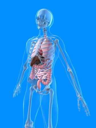 human anatomy Stock Photo - 2021081