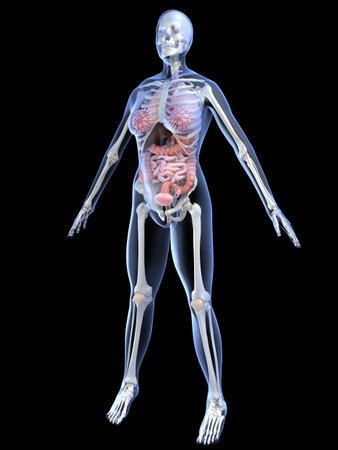 female anatomy Stock Photo - 2055933