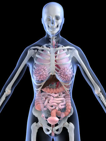 female anatomy Stock Photo - 2055937
