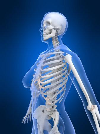 chest women: female skeleton  3d, anatomical, anatomy, arthritis, backache, backbone, biological, biology, bones, chest, female, graphic, health, hip, human, ilium, illustration, joint, medical, osteoporosis, rheumatism, ribs, science, skeletal, skeleton, skull, spina