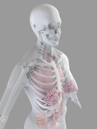 anatomía femenina Foto de archivo - 2055893