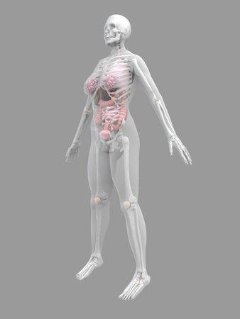 female anatomy Stock Photo - 2055887