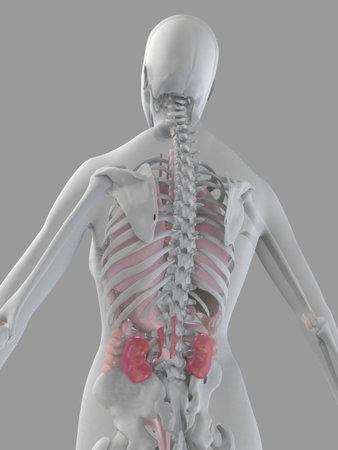 female anatomy Stock Photo - 2055895