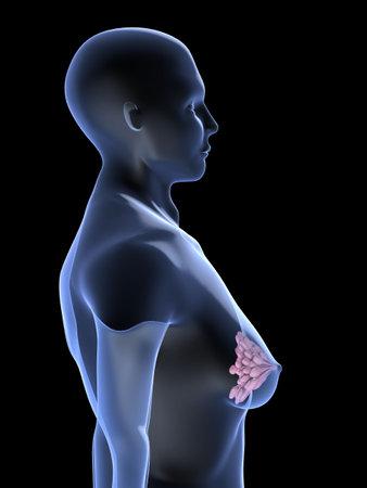 female shape with mammary gland photo