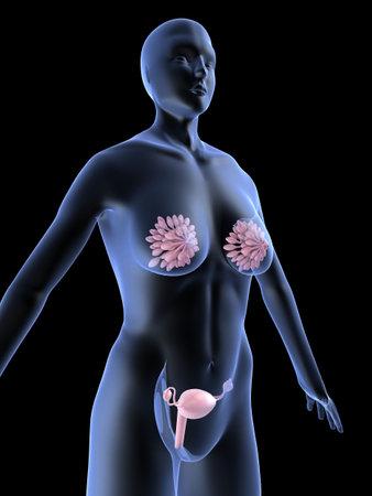 female shape with mammary gland and uterus photo