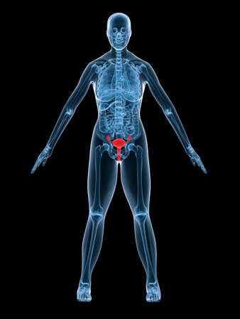 x-ray anatomy - highlighted uterus Stock Photo