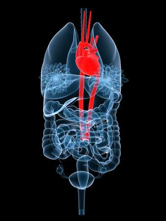 lungcancer: x-ray organs - highlighted heart